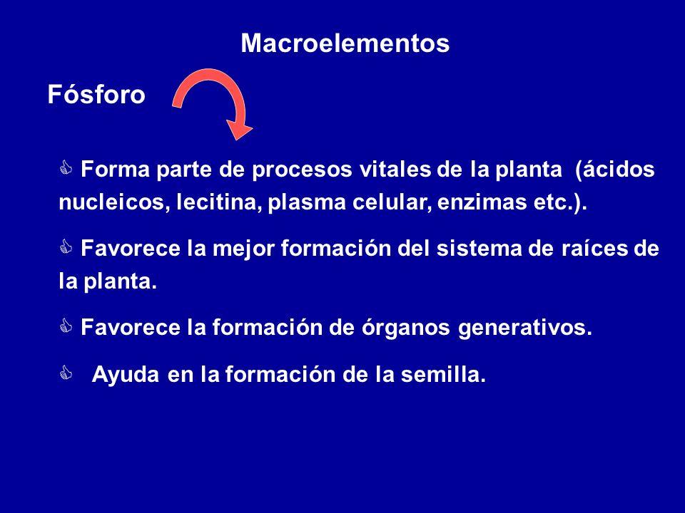 Macroelementos Fósforo C Forma parte de procesos vitales de la planta (ácidos nucleicos, lecitina, plasma celular, enzimas etc.). C Favorece la mejor