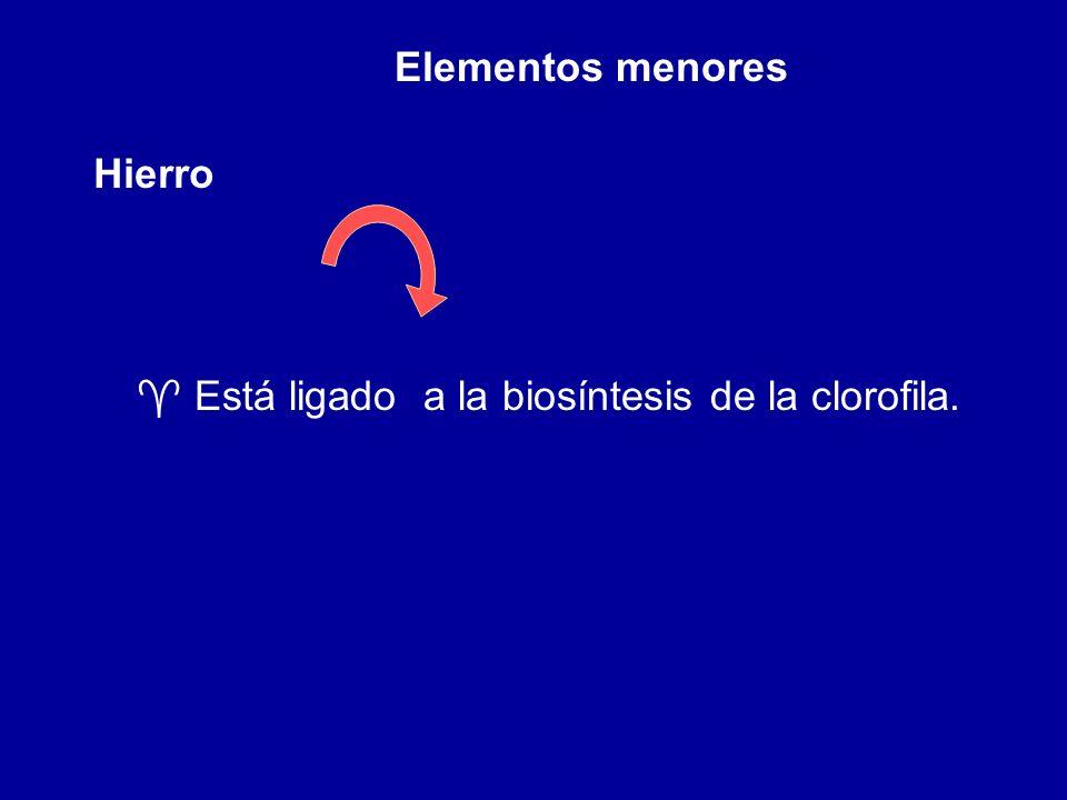 Elementos menores Hierro ^ Está ligado a la biosíntesis de la clorofila.