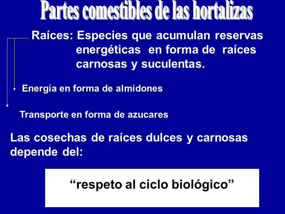 Raíces: Especies que acumulan reservas energéticas en forma de raíces carnosas y suculentas. Energía en forma de almidones Transporte en forma de azuc