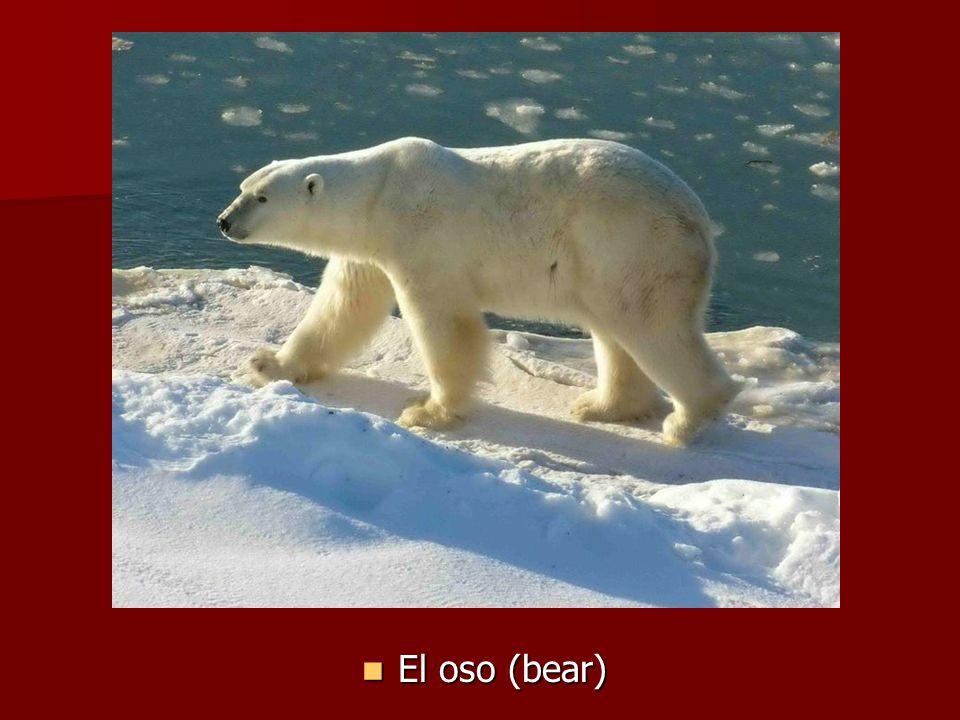 El oso (bear) El oso (bear)