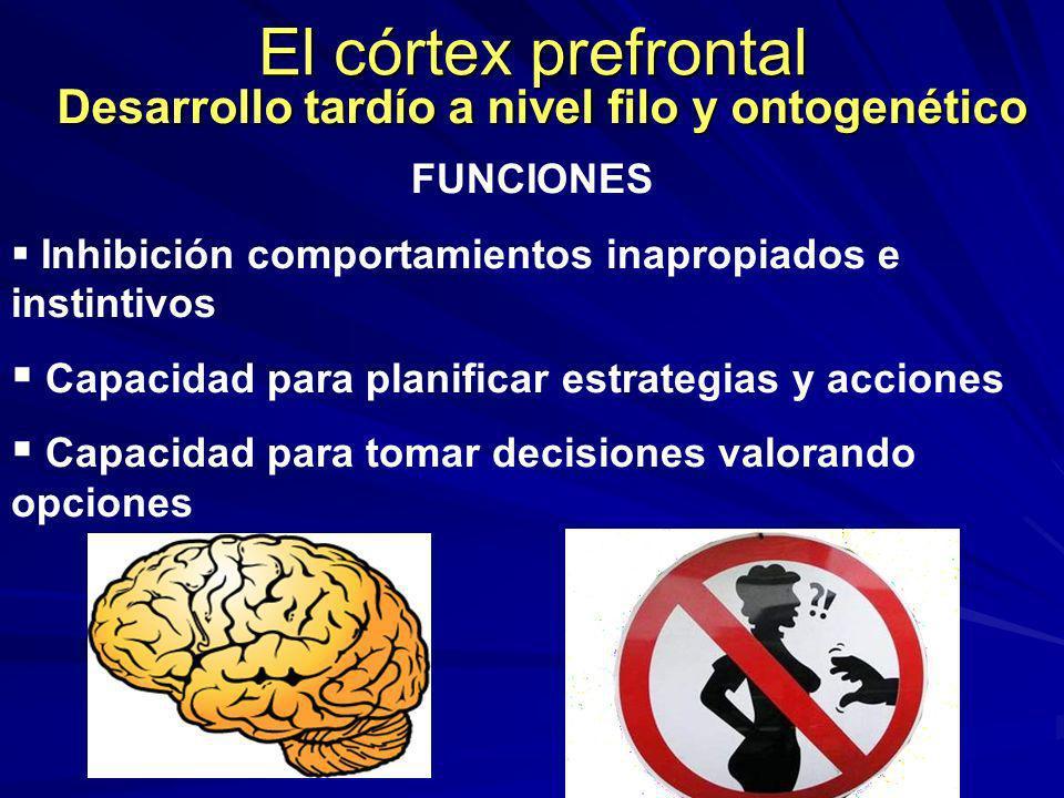El córtex prefrontal Desarrollo tardío a nivel filo y ontogenético FUNCIONES Inhibición comportamientos inapropiados e instintivos Capacidad para plan