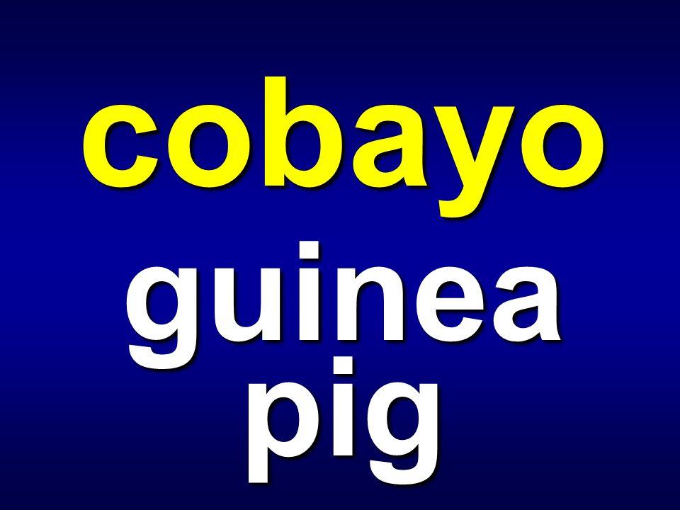 cobayo guinea pig