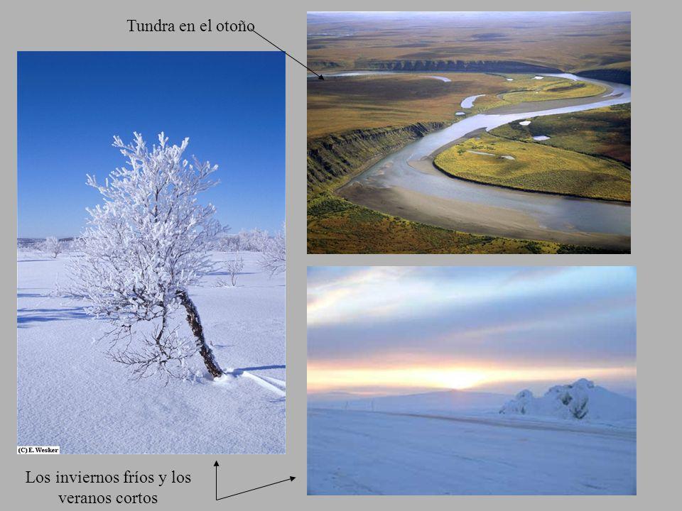 Tundra en el otoño Los inviernos fríos y los veranos cortos