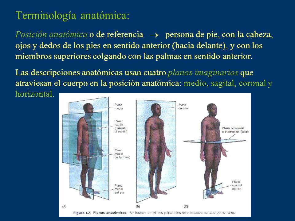 Terminología anatómica: Posición anatómica o de referencia persona de pie, con la cabeza, ojos y dedos de los pies en sentido anterior (hacia delante)