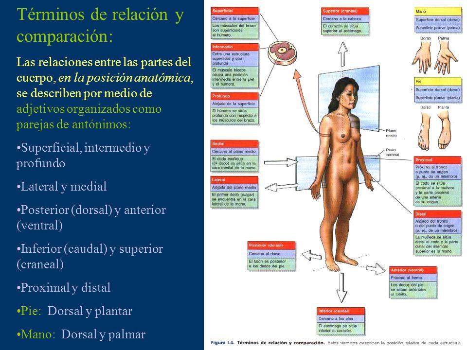 Términos de relación y comparación: Las relaciones entre las partes del cuerpo, en la posición anatómica, se describen por medio de adjetivos organiza