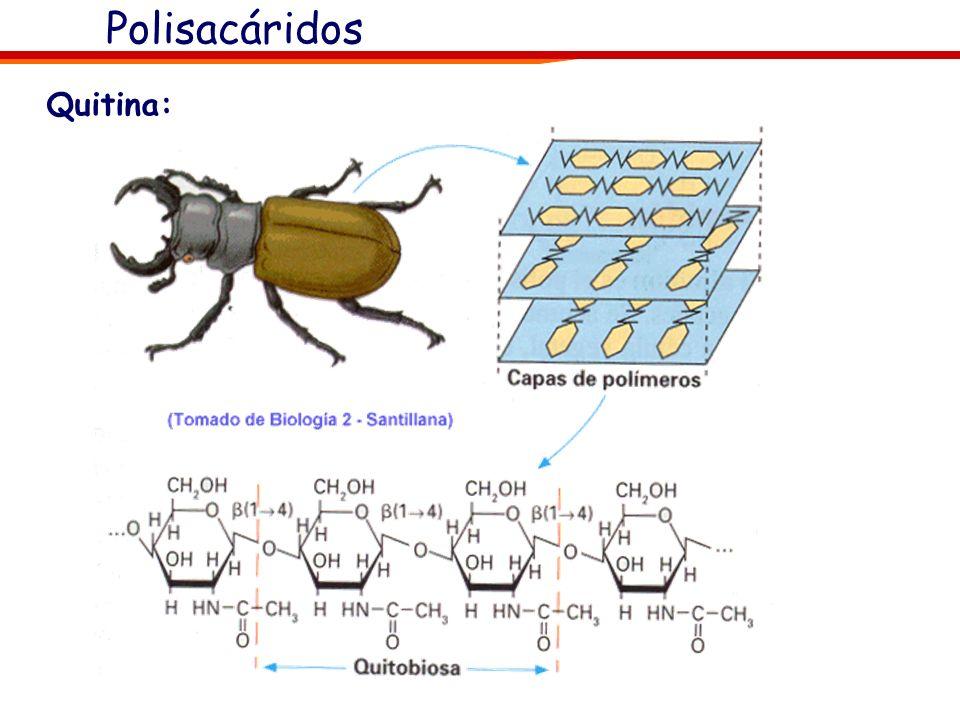 Quitina: Polisacárido estructural Formada por un derivado nitrogenado de la glucosa: la N-acetil-glucosamina. Constituye los exoesqueletos de los artr