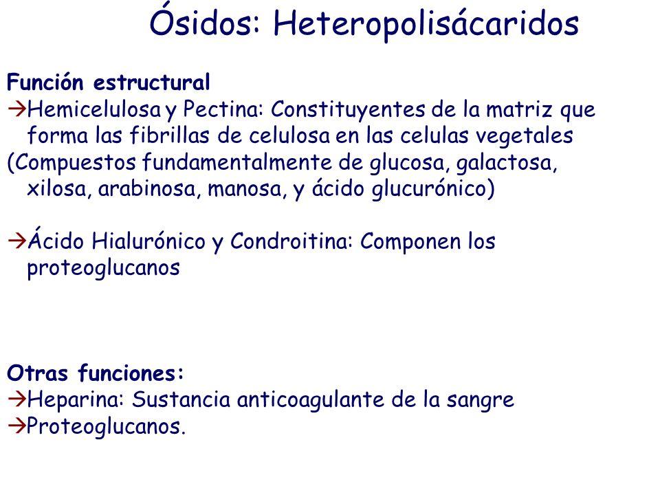 Ósidos: Heterósidos y Glucoconjugados ÓSIDOS Holósidos Oligosacáridos (<10 monosacaridos) Disacáridos Trisacáridos… Polisacáridos (>10 monosacaridos)