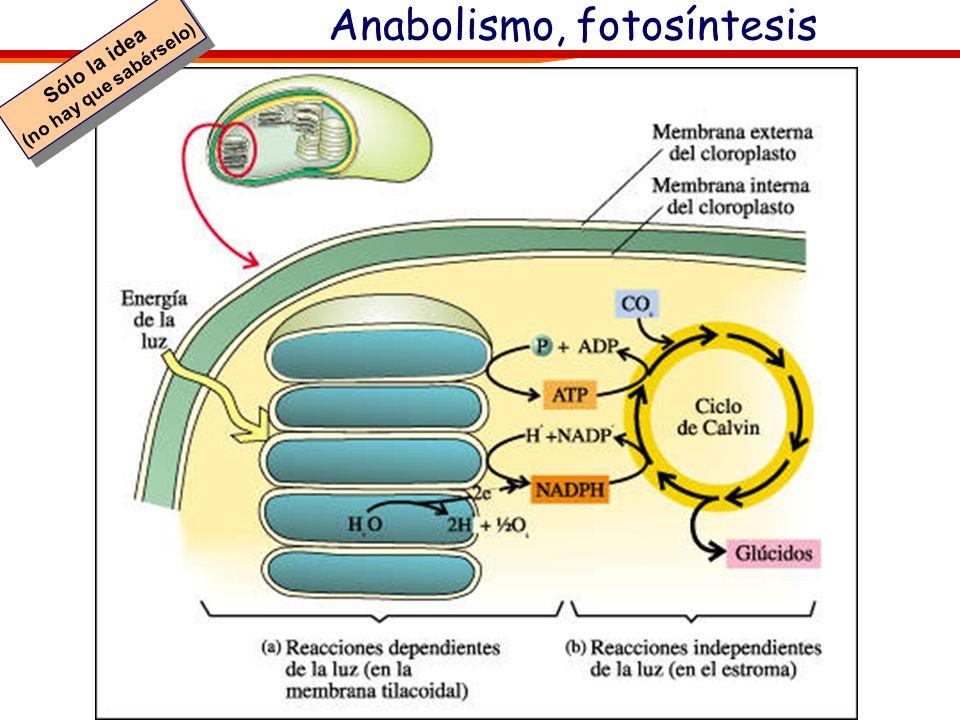 Los glúcidos y el anabolismo 6 CO 2 + H 2 O C 6 (H 2 O) 6 + 6 O2O2 Los glúcidos (monosacáridos) se producen en la fotosíntesis (proceso anabólico). La