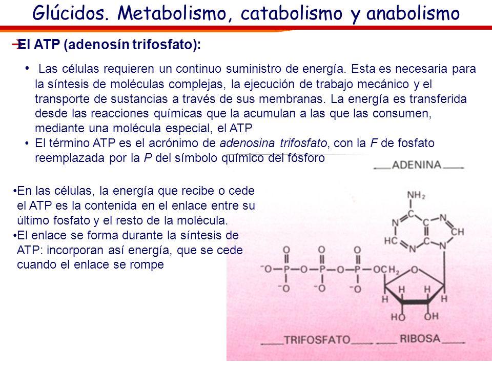 Glúcidos. Metabolismo, catabolismo y anabolismo Respiración celular: De estas moléculas con funciones energéticas la más importante es: oEl ATP (adeno