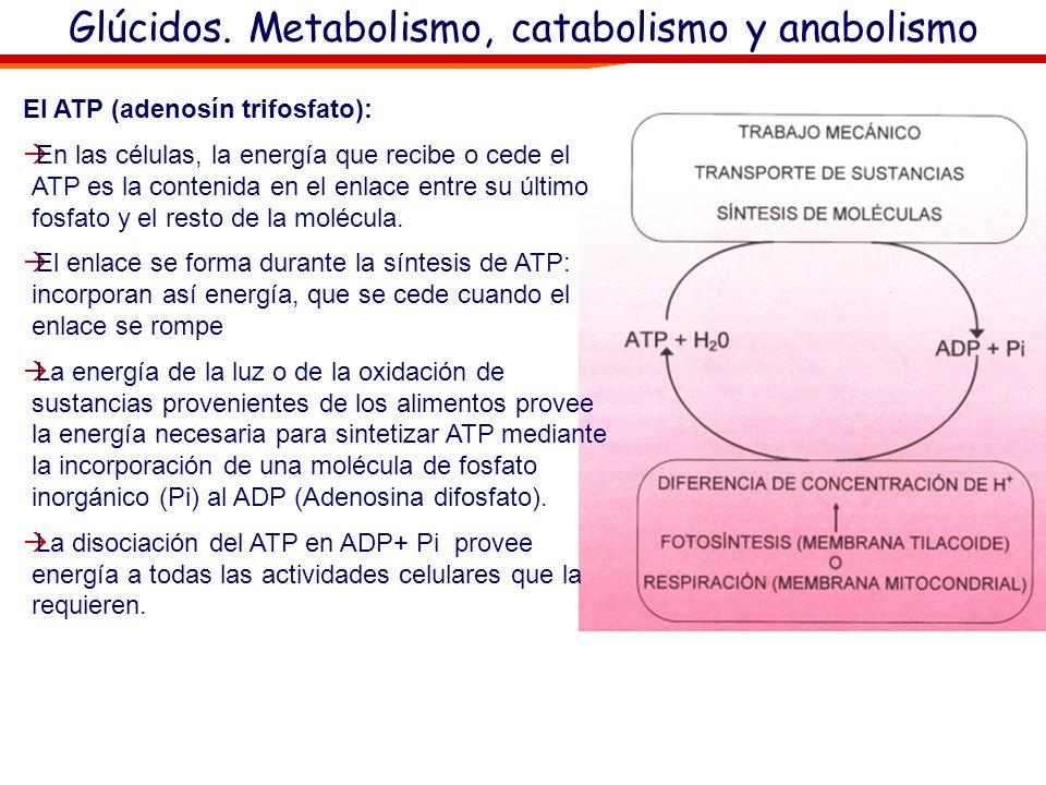 Glúcidos. Metabolismo, catabolismo y anabolismo Los fosfatos se muestran con cargas eléctricas negativaas porque en las condiciones fisiológicas pierd
