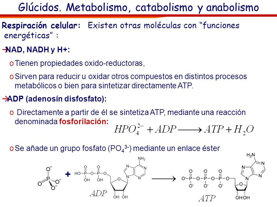 Glúcidos. Metabolismo, catabolismo y anabolismo El ATP (adenosín trifosfato): En las células, la energía que recibe o cede el ATP es la contenida en e