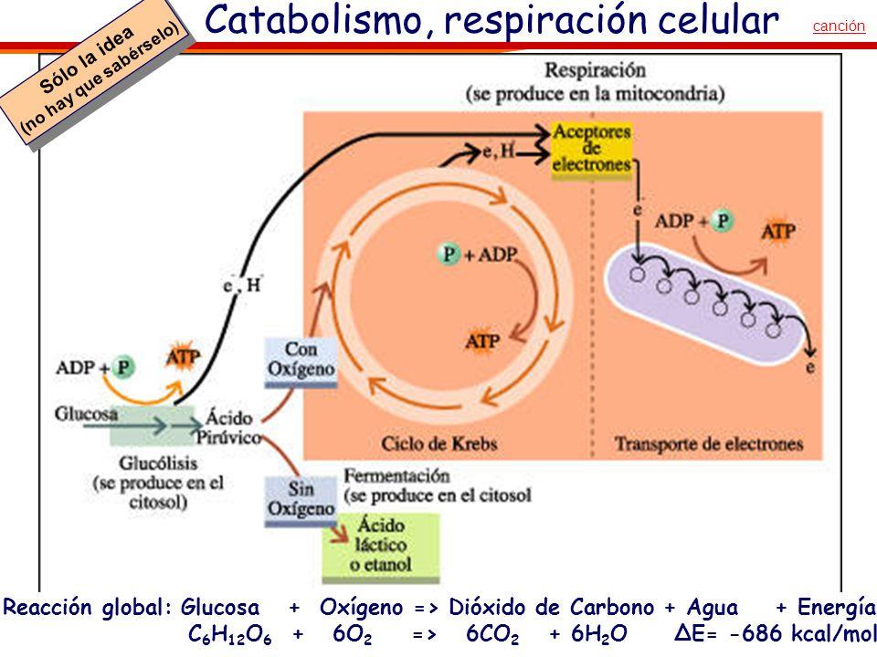 Catabolismo, respiración celular Sólo la idea (no hay que sabérselo) Sólo la idea (no hay que sabérselo) canción