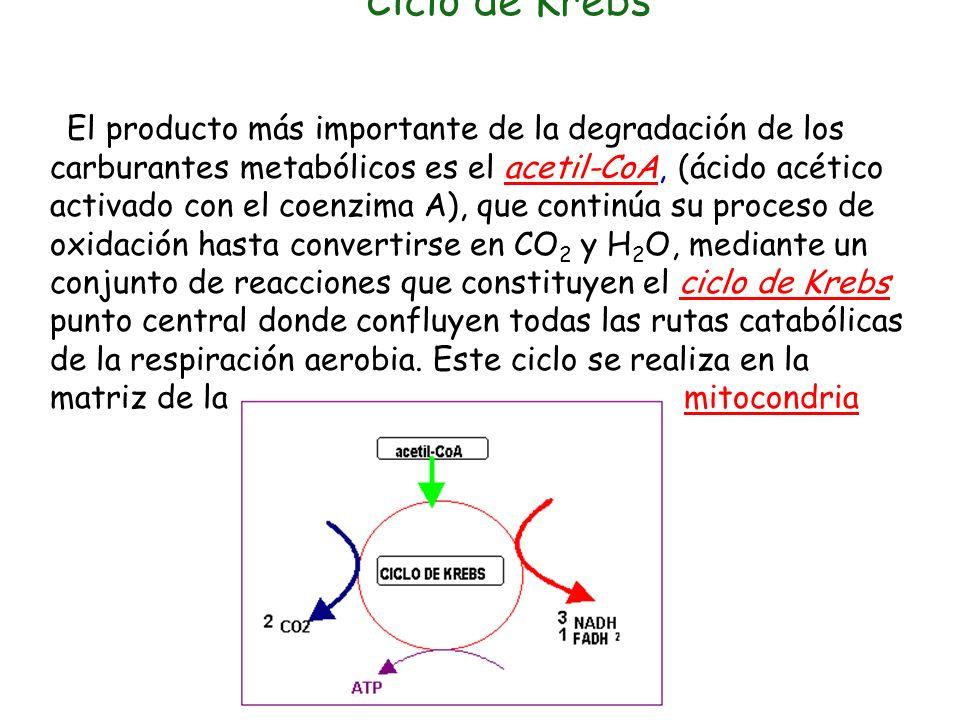 CATABOLISMO DE AZÚCARES Es la primera fase del Catabolismo de los azúcares, tiene lugar en el citoplasma de la célula y no necesita la presencia de Ox