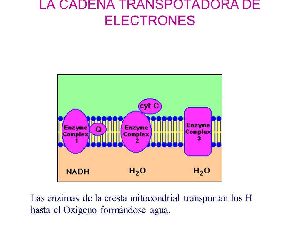 La cadena transportadora de electrones: fosforilación oxidativa.