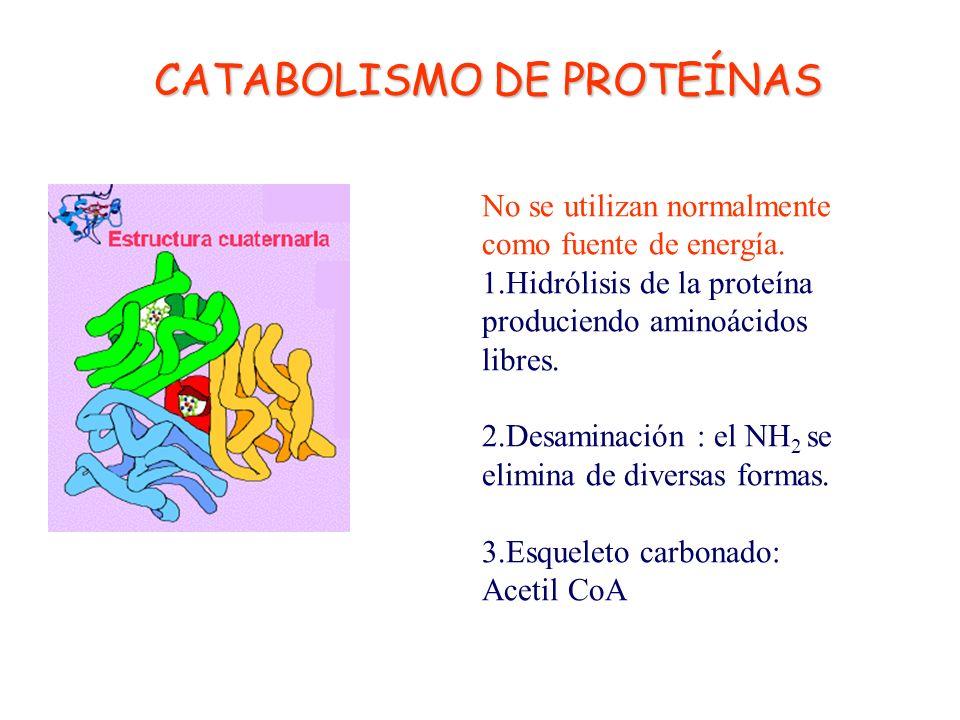 CATABOLISMO DE LÍPIDOS En el citoplasma los triglicéridos son hidrolizados por las lipasas en Glicerina+ Ácidos Grasos. La glicerina se transforma en