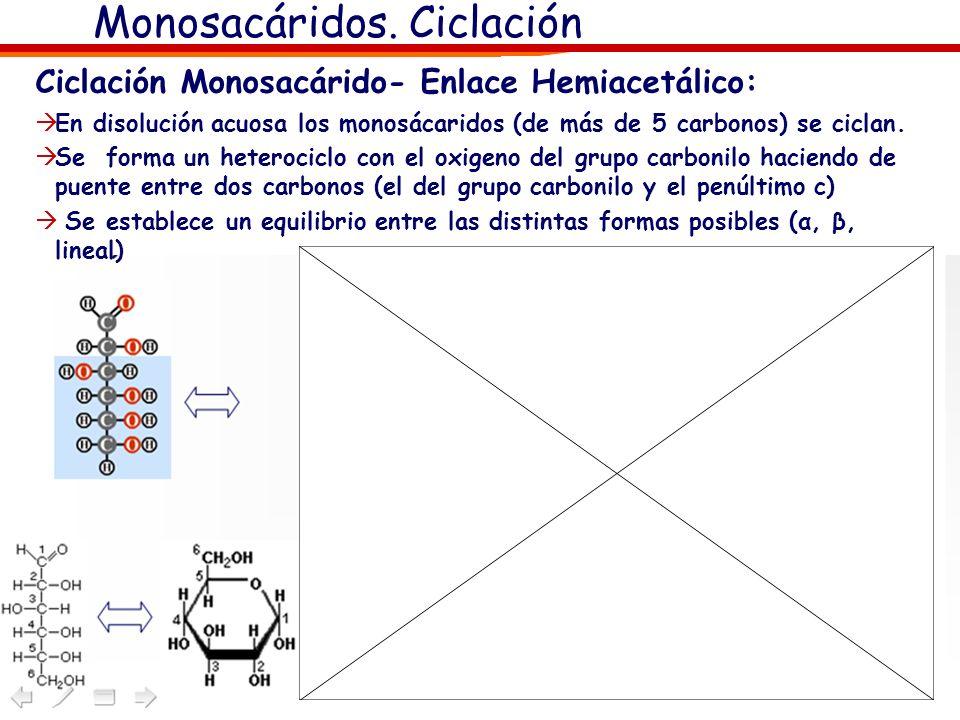 Monosacáridos. Ciclación Ciclación Monosacárido- Enlace Hemiacetálico: En disolución acuosa los monosácaridos (de más de 5 carbonos) se ciclan. Se for