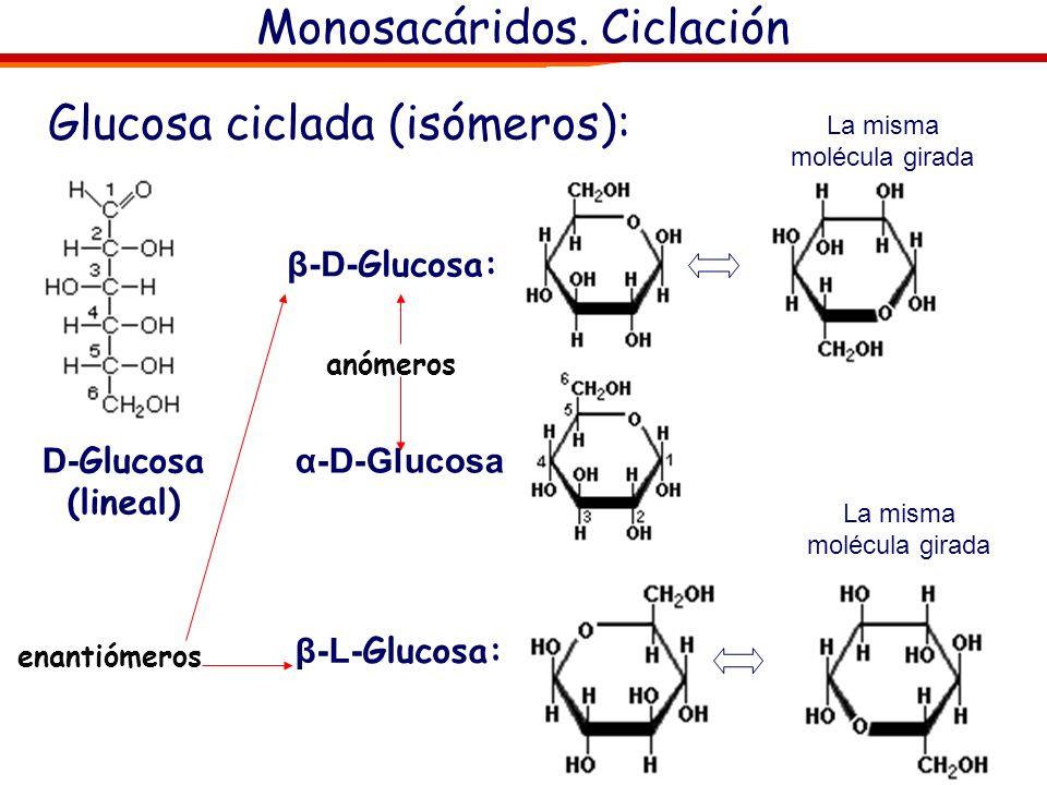 Monosacáridos. Ciclación Formas abierta y cerrada de la fructosa Formas abierta y cerrada de la glucosa