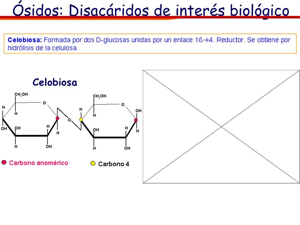 Ósidos: Disacáridos de interés biológico Maltosa: