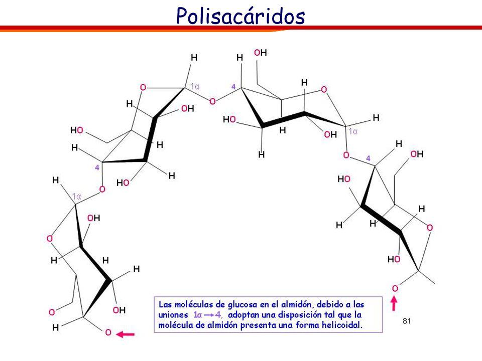 Polisacáridos El Almidón: Es un homopolisacárido formado por moléculas de α-D-glucosa unidas por enlaces glucosídicos α(1 4) y/o α(1 6). En la molécul