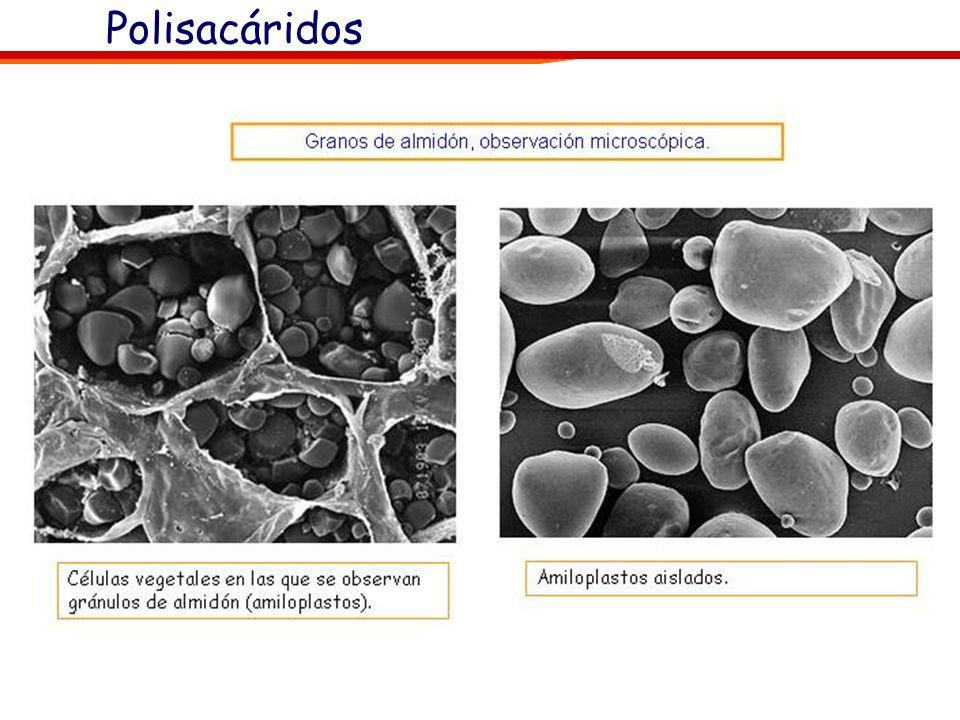 El almidón actúa como sustancia de reserva en las células vegetales. Una parte sustancial de los glúcidos producidos en la fotosíntesis se almacenan e