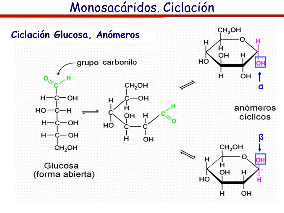 Monosacáridos. Ciclación Ciclación Glucosa, Anómeros β el OH hemiacetalico y el OH del carbono externo (carbono 6 ) en configuración cis (mismo lado).