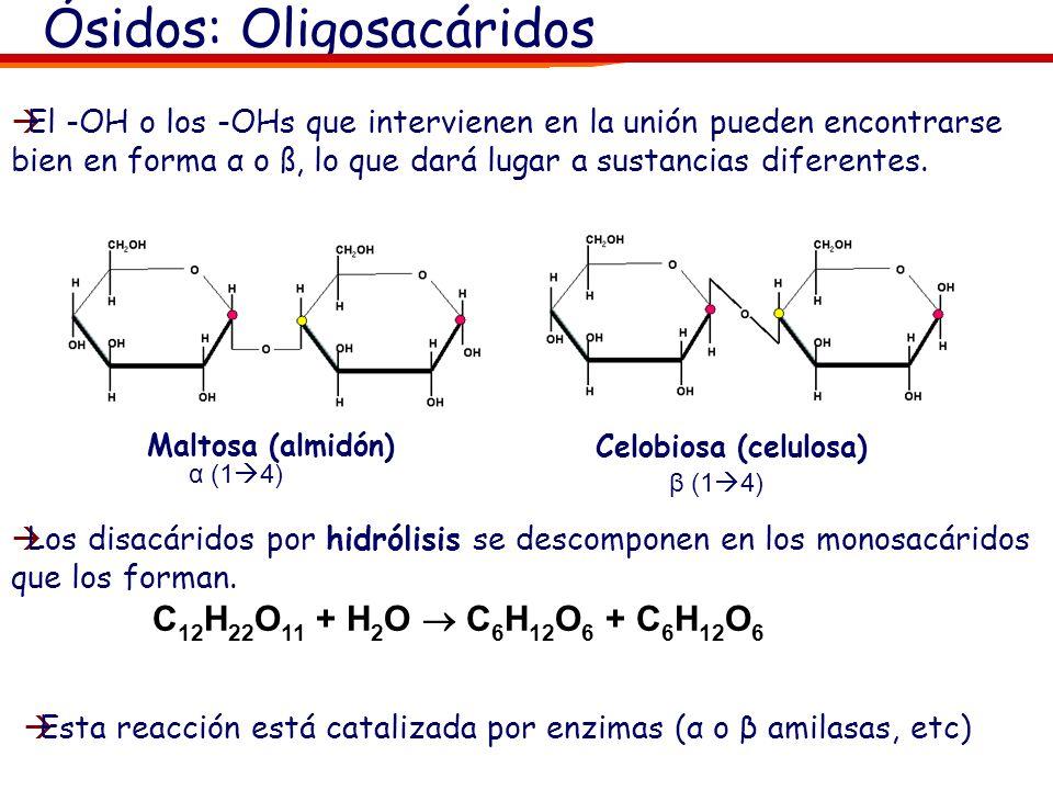 Ósidos: Oligosacáridos Los oligosacáridos están formados por la unión de 10 o menos de 10 monosacáridos La unión se produce mediante un enlace O-glico