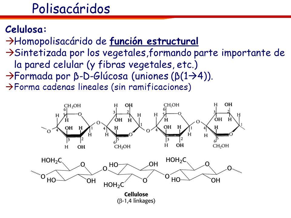 El glucógeno: Glucógenina (proteina) Gránulos de glucógeno Polisacáridos
