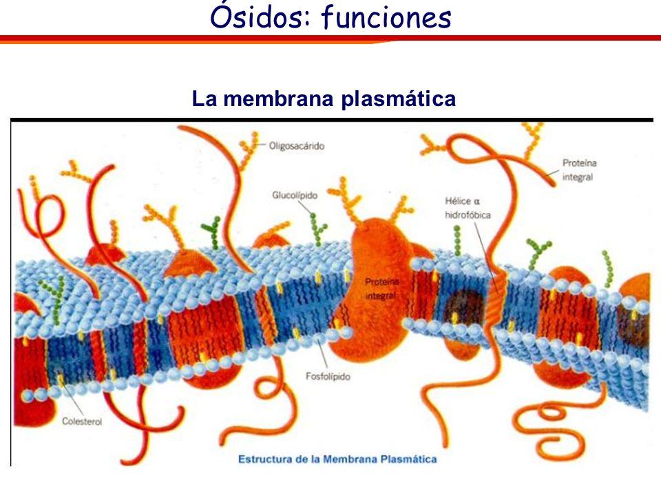Ósidos: Glucoconjugados. Péptidoglucanos: Parte proteíca de pequeño tamaño. Intervienen en la formación de la pared bacteriana (algunos antibióticos -