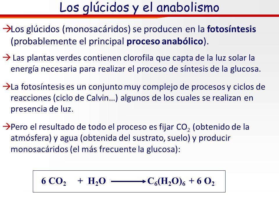 Glúcidos. Metabolismo= catabolismo y anabolismo Anabolismo (del griego anabolé hacia arriba) es el conjunto de reacciones que crean nuevos enlaces ent