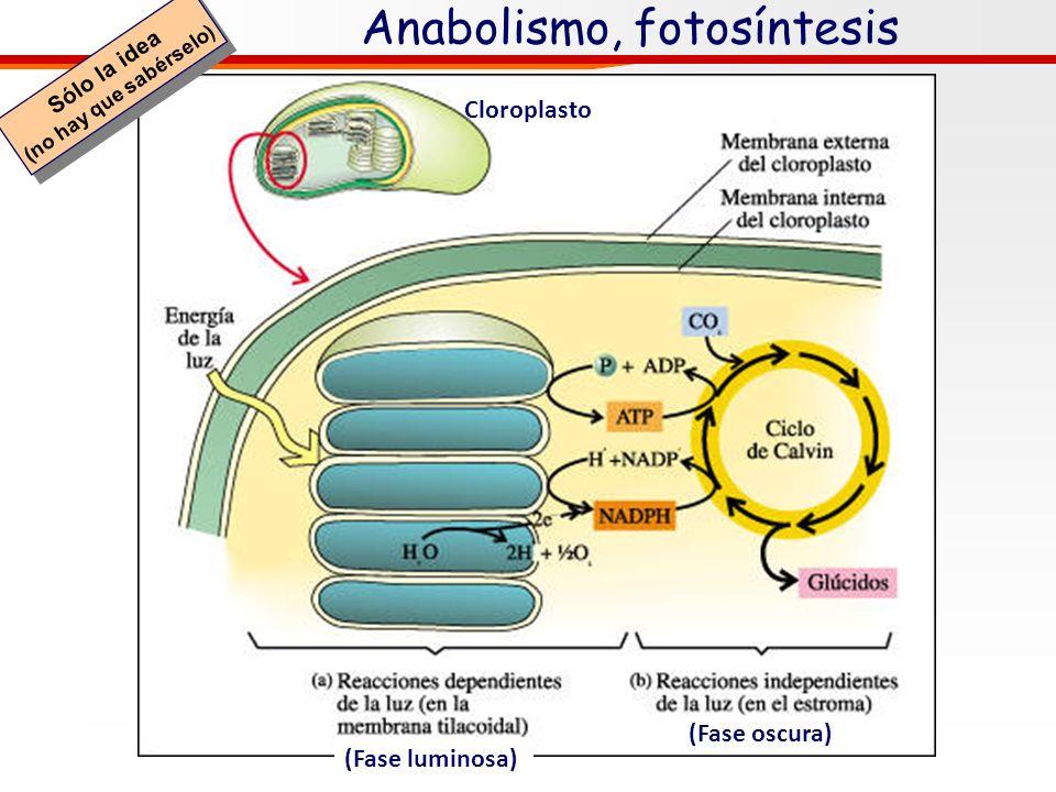 Los glúcidos y el anabolismo 6 CO 2 + H 2 O C 6 (H 2 O) 6 + 6 O2O2 Los glúcidos (monosacáridos) se producen en la fotosíntesis (probablemente el princ