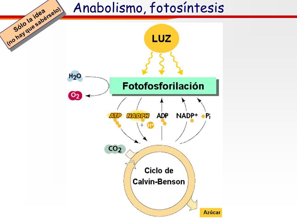 Anabolismo, fotosíntesis Sólo la idea (no hay que sabérselo) Sólo la idea (no hay que sabérselo) (Fase oscura) (Fase luminosa) Cloroplasto