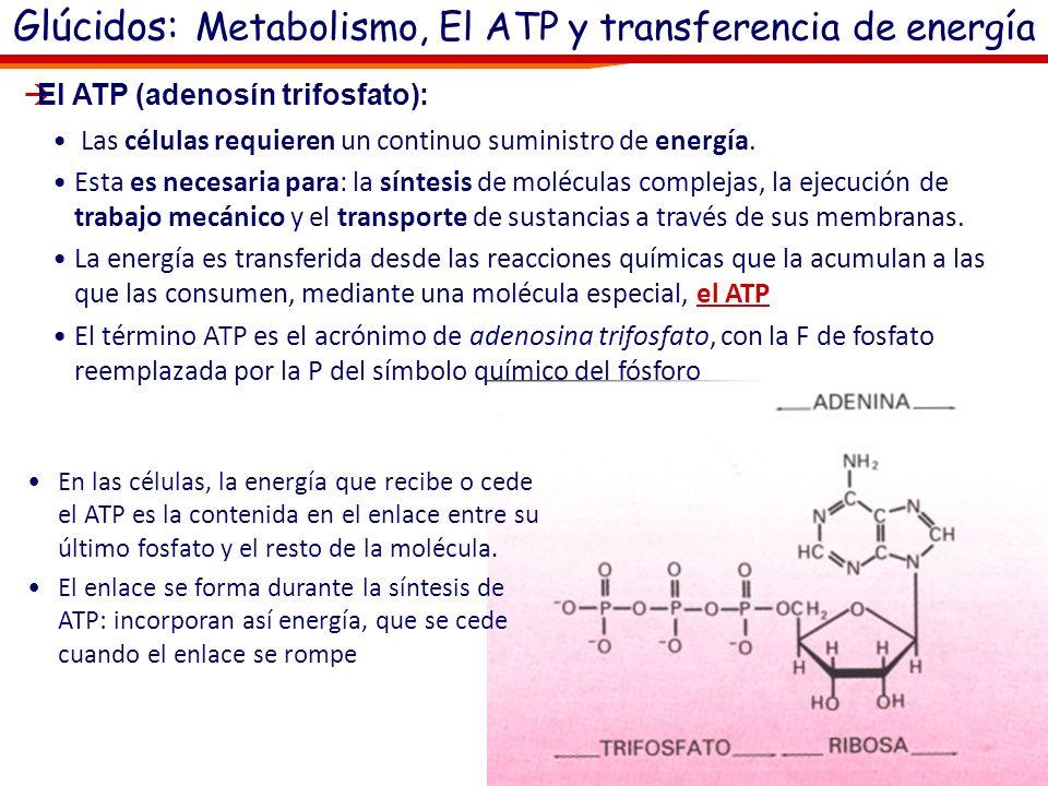 Glúcidos: Metabolismo, El ATP y transferencia de energía Respiración celular: De estas moléculas con funciones energéticas la más importante es: oEl A
