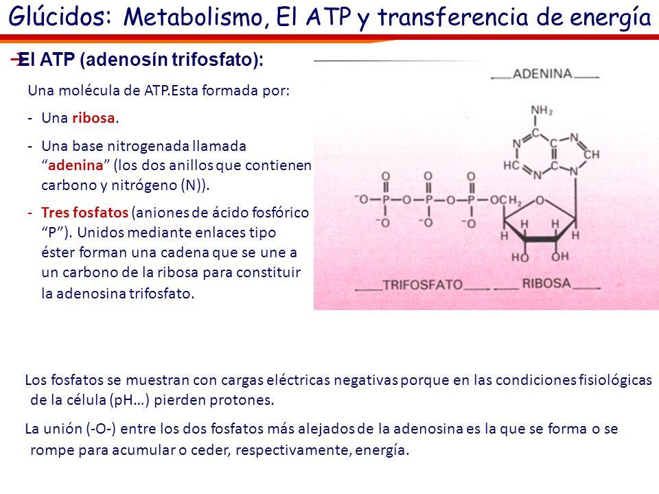 El ATP (adenosín trifosfato): Las células requieren un continuo suministro de energía. Esta es necesaria para: la síntesis de moléculas complejas, la