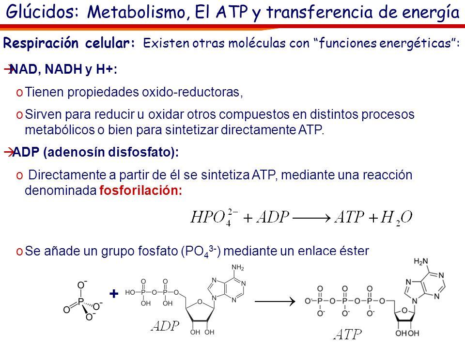 El ATP (adenosín trifosfato): En las células, la energía que recibe o cede el ATP es la contenida en el enlace entre su último fosfato y el resto de l