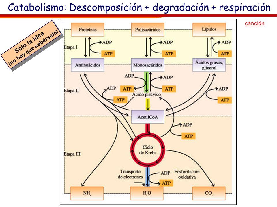 Glúcidos. Metabolismo, Catabolismo El proceso de degradación desde las grandes biomoléculas hasta la obtención de energía (y CO 2 y agua) tiene tres f