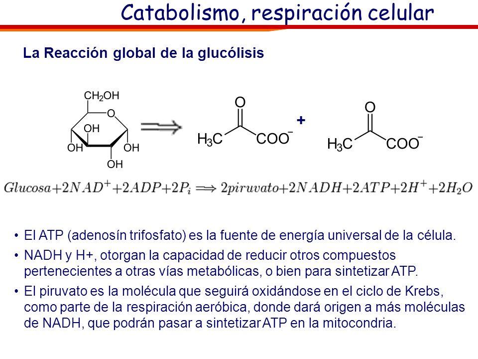 Catabolismo de azúcares I: Glucolisis Glucolisis: oEs la primera fase del Catabolismo de los azúcares, oTiene lugar en el citoplasma de la célula y no