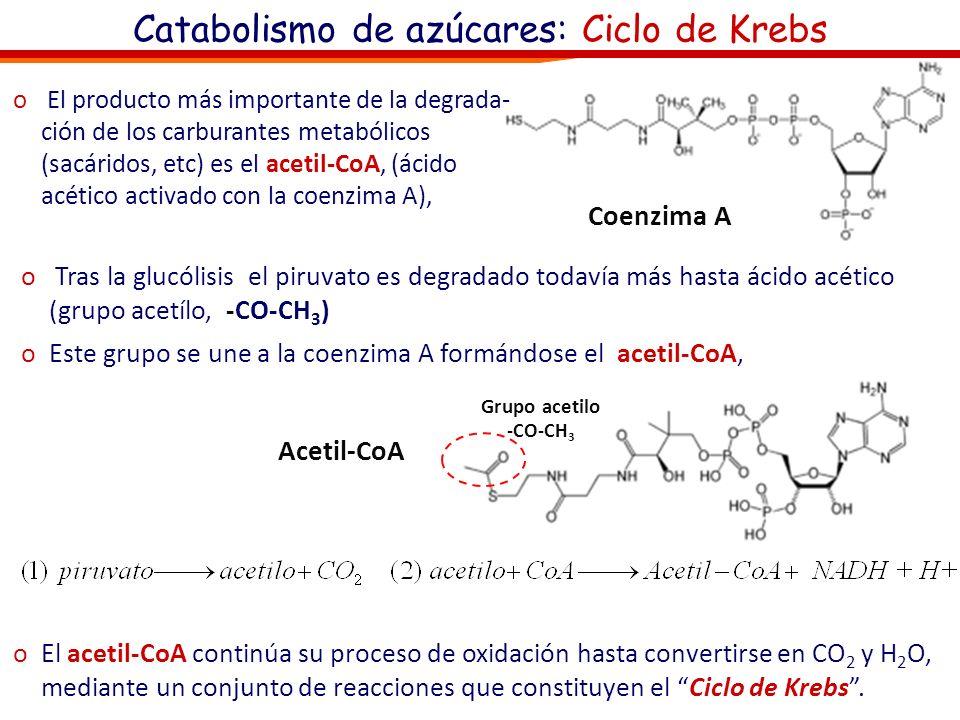 Catabolismo de azúcares: Ciclo de Krebs o Tras la glucólisis el siguiente (y último proceso) catabólico es la respiración celular oEn el primer paso e