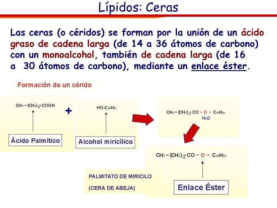Lípidos: Ceras Las ceras (o céridos) se forman por la unión de un ácido graso de cadena larga (de 14 a 36 átomos de carbono) con un monoalcohol, tambi
