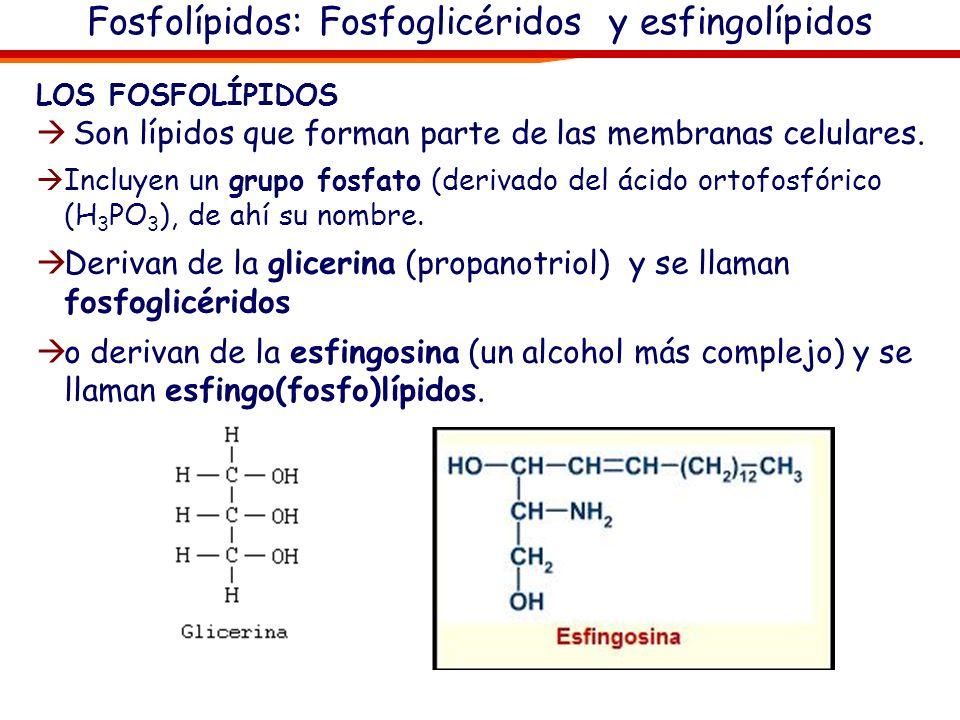 Fosfolípidos: Fosfoglicéridos y esfingolípidos LOS FOSFOLÍPIDOS Son lípidos que forman parte de las membranas celulares. Incluyen un grupo fosfato (de