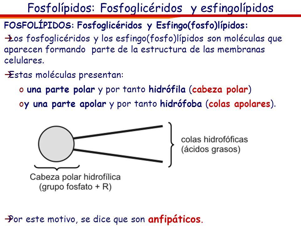 Fosfolípidos: Fosfoglicéridos y esfingolípidos FOSFOLÍPIDOS: Fosfoglicéridos y Esfingo(fosfo)lípidos: Los fosfoglicéridos y los esfingo(fosfo)lípidos