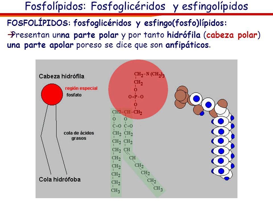 Fosfolípidos: Fosfoglicéridos y esfingolípidos FOSFOLÍPIDOS: fosfoglicéridos y esfingo(fosfo)lípidos: Presentan unna parte polar y por tanto hidrófila