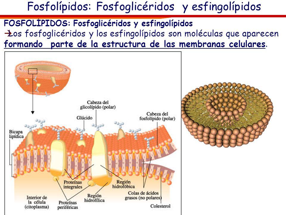 Fosfolípidos: Fosfoglicéridos y esfingolípidos FOSFOLÍPIDOS: Fosfoglicéridos y esfingolípidos Los fosfoglicéridos y los esfingolípidos son moléculas q
