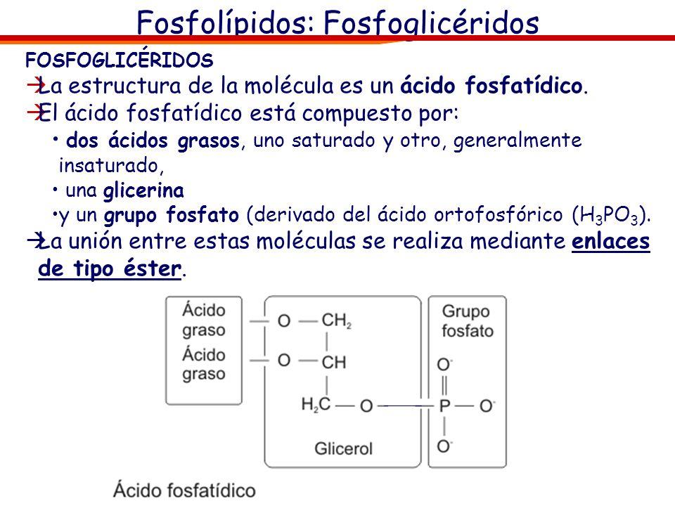 Fosfolípidos: Fosfoglicéridos FOSFOGLICÉRIDOS La estructura de la molécula es un ácido fosfatídico. El ácido fosfatídico está compuesto por: dos ácido