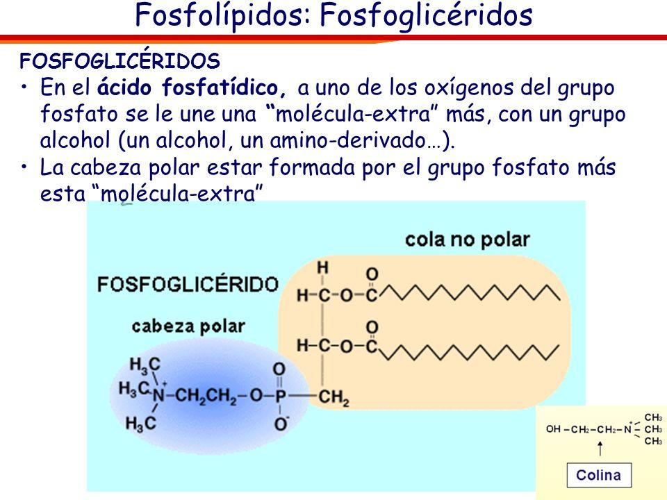 Fosfolípidos: Fosfoglicéridos FOSFOGLICÉRIDOS En el ácido fosfatídico, a uno de los oxígenos del grupo fosfato se le une una molécula-extra más, con u