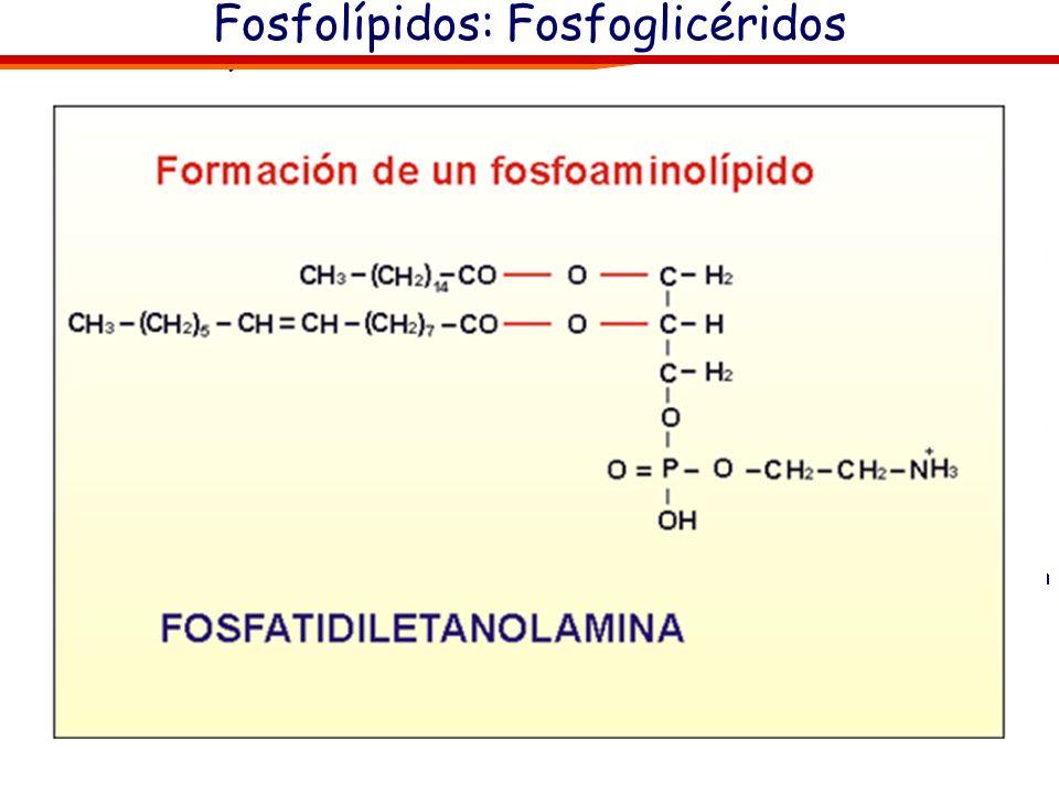 Fosfolípidos: Fosfoglicéridos FOSFOGLICÉRIDOS La estructura de la molécula es un ácido fosfatídico. El ácido fosfatídico está compuesto por dos ácidos