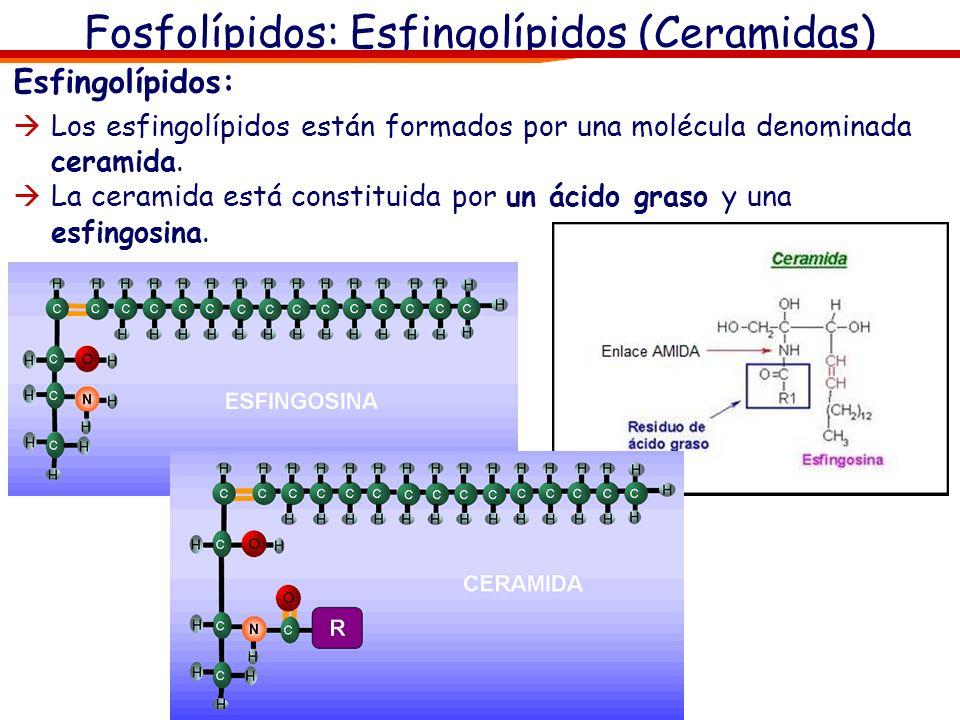 Fosfolípidos: Esfingolípidos (Ceramidas) Esfingolípidos: Los esfingolípidos están formados por una molécula denominada ceramida. La ceramida está cons