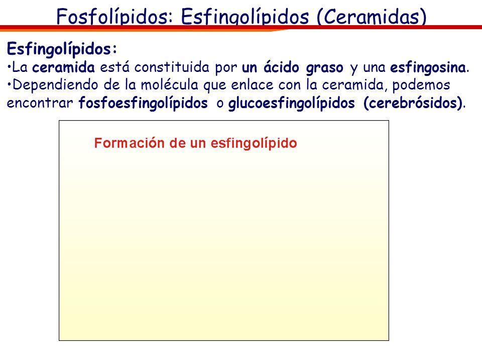 Fosfolípidos: Esfingolípidos (Ceramidas) Esfingolípidos: La ceramida está constituida por un ácido graso y una esfingosina. Dependiendo de la molécula