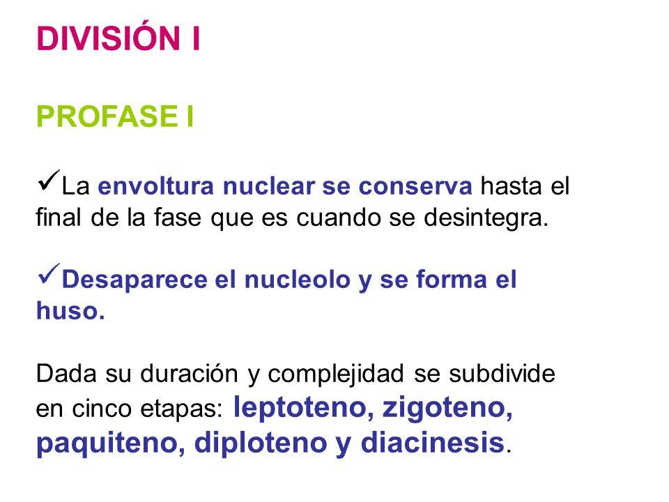 DIVISIÓN I PROFASE I La envoltura nuclear se conserva hasta el final de la fase que es cuando se desintegra. Desaparece el nucleolo y se forma el huso