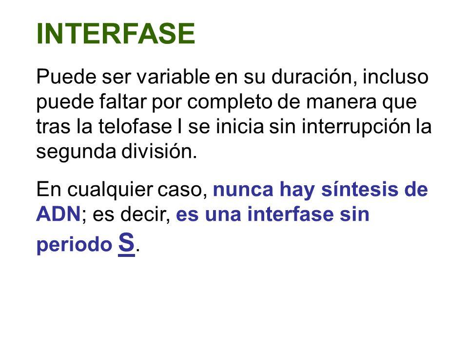 INTERFASE Puede ser variable en su duración, incluso puede faltar por completo de manera que tras la telofase I se inicia sin interrupción la segunda