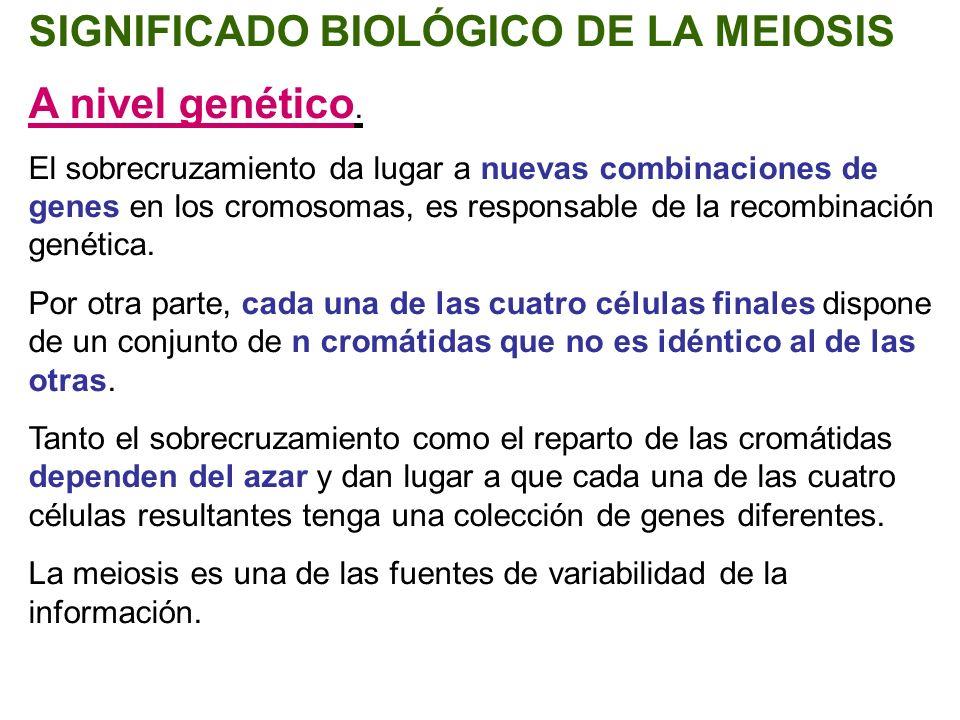 SIGNIFICADO BIOLÓGICO DE LA MEIOSIS A nivel genético. El sobrecruzamiento da lugar a nuevas combinaciones de genes en los cromosomas, es responsable d